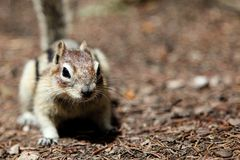 Chipmunk Background with Copy Space Stock Image