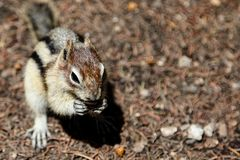 Chipmunk Background with Copy Space Royalty Free Stock Photo
