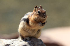 Chipmunk. In the Banff National Park in Canada Stock Photo