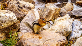 Chipmunk in Banff in the Rocky Mountains Royalty Free Stock Images