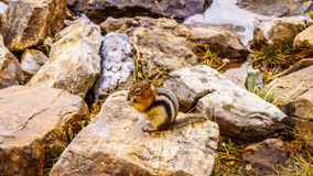 Chipmunk in Banff in the Rocky Mountains Stock Photo