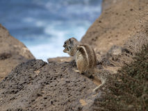Chipmunk or barbary ground squirrel. Lookin on the ocean Stock Images
