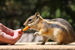 Chipmunk Being Fed. Close-up of a chipmunk being fed by a human hand stock images