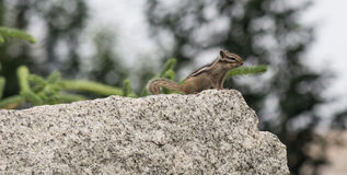 Chipmunk. Belongs to rodents, squirrel, is a close relative of grey squirrels, size is much smaller than the squirrel.  likes to eat carrots, potatoes, sweet Royalty Free Stock Photos