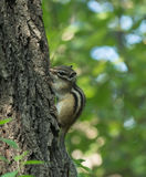 Chipmunk. Belongs to rodents, squirrel, is a close relative of grey squirrels, size is much smaller than the squirrel.  likes to eat carrots, potatoes, sweet Stock Images