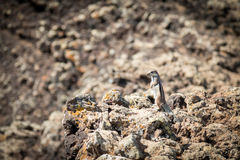 Chipmunk Berber Zdjęcia Royalty Free