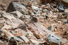 Chipmunk Berber Zdjęcie Royalty Free