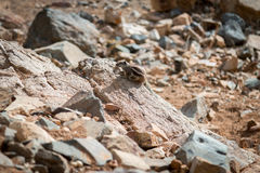 Chipmunk Berber. In the wild during wypatrywania prey. Canary Islands Royalty Free Stock Photo