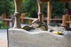 Chipmunk. In the bird feeder Royalty Free Stock Photography