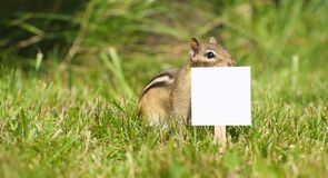 Chipmunk with blank sign. Royalty Free Stock Photo