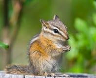 Chipmunk bonito Imagem de Stock Royalty Free