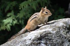 Chipmunk on boulder. Chipmunk on a boulder with a forest background Royalty Free Stock Image
