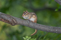 Chipmunk on a Branch Royalty Free Stock Photography