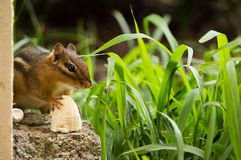Chipmunk breakfast Stock Photo