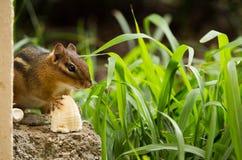 Chipmunk breakfast stock photo