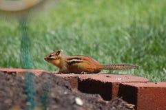 Chipmunk on brick wall Royalty Free Stock Photography