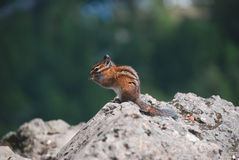 Chipmunk Stock Photos