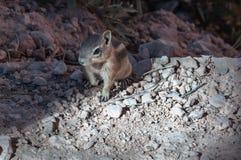 Chipmunk in Bryce Canyon National Park, Utah Stock Photo