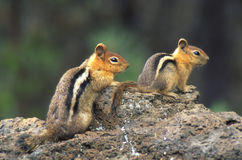 Chipmunk Buddies Stock Images