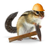 Chipmunk builder, reconstruction concept. Funny chipmunk builder, reconstruction worker concept Stock Photos