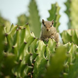 Chipmunk in cactus Royalty Free Stock Images
