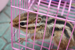 Chipmunk in cage Royalty Free Stock Photos