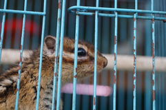 Chipmunk in a cage Stock Photography