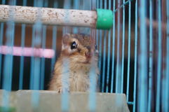 Chipmunk in a cage Royalty Free Stock Photos