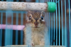 Chipmunk in a cage Stock Image