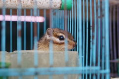 Chipmunk in a cage Royalty Free Stock Image