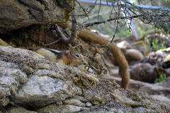 Chipmunk camouflaged in it`s natural environment. Chipmunk camouflaged into the rocky background Stock Image