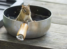 Chipmunk in camping pot Royalty Free Stock Photography