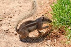 Chipmunk on the Canary Islands in Morro Jable town. View of chipmunk on the Canary Islands in Morro Jable town Stock Photography