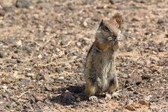 Chipmunk on the Canary Islands in Morro Jable town. View of chipmunk on the Canary Islands in Morro Jable town Stock Photo