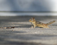 Chipmunk caught in its tracks. A snapshot of a chipmunk posing as it was running across a driveway Royalty Free Stock Image