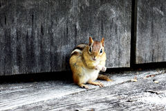 Chipmunk caught unawares. Amazing Chipmunk during  day meal Royalty Free Stock Photos