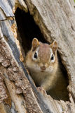 Chipmunk in cavity Royalty Free Stock Images