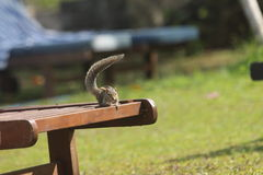 Chipmunk on a chaise lounge having raised a tail up. Royalty Free Stock Photo