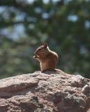 Chipmunk che si siede su una roccia Fotografia Stock