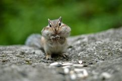Chipmunk with cheeks full of nuts and seeds 3. Chipmunk with cheeks full of nuts and seeds. Cheeks bulging. Stocks for the winter. Closeup. Selective focusr Stock Photos