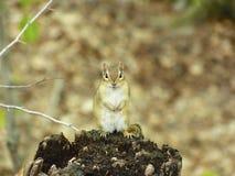 Chipmunk. Cheeky Chipmunk, sitting on rotted tree stump, North America Royalty Free Stock Photo