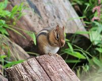 Chipmunk. S are just so adorable Stock Photos