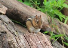 Chipmunk. S are just so adorable Stock Images