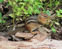 Chipmunk. S are just so adorable Royalty Free Stock Photo