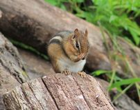 Chipmunk. S are just so adorable Royalty Free Stock Photos