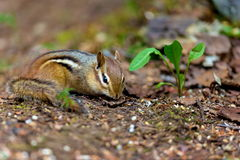 Chipmunk. S are small, striped rodents of the family squirrel. s are found in North America, with the exception of the Siberian  which is found primarily in Asia Stock Photography