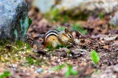 Chipmunk Stock Image