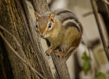 Chipmunk. A chipmunk clings to a tree trunk royalty free stock photos