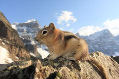 Chipmunk close-up on a rock cliff Royalty Free Stock Image