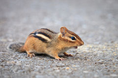 Chipmunk. Close up shot of chipmunk portrait Royalty Free Stock Photos